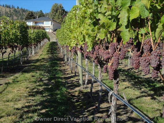 Summerland Cottage Vineyard #200527