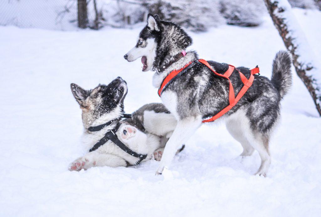 Winter Snow Dogs